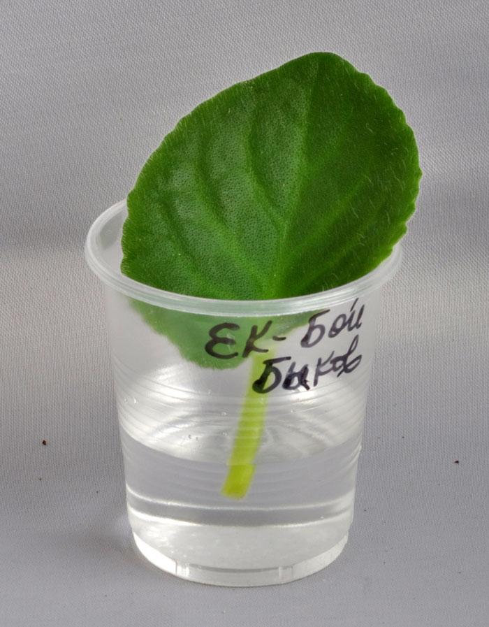 Как вырастить фиалку из листочка пошагово