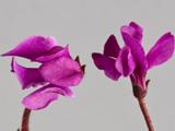 Формы цветов фиалок