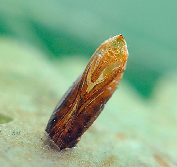 Шкурка от кукоки, торчащая из листа, после выхода бабочки