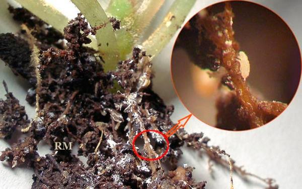 Растение, пораженное корневым червецом