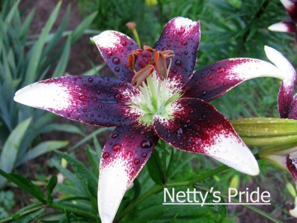 Лилия Netty's Pride