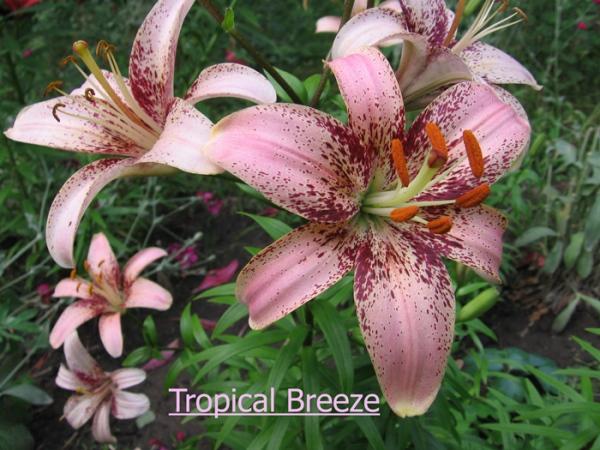 Лилия Tropical Breeze