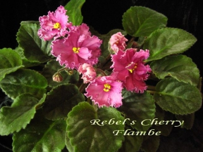 Сенполии Rebel's Cherry Flambe