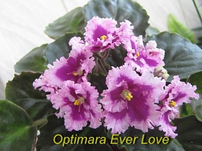 Сенполии Optimara EverLove