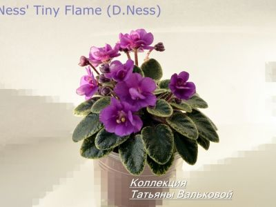 Сенполии Ness' Tiny Flame