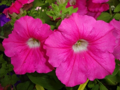 Петунии Rose Supertunia
