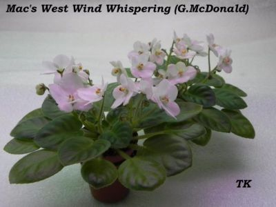 Сенполии Mac's West Wind Whispering