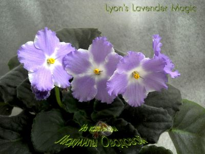Сенполии Lyon's Lavender Magic