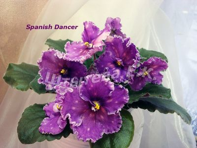 Сенполии Spanish Dancer