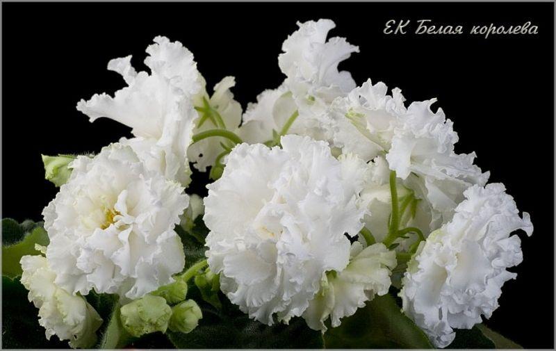 фиалка ек-белая королева фото